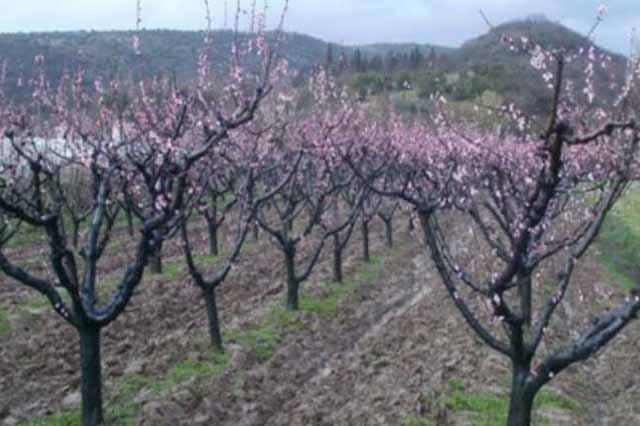 Hercegovina: Zaštitite svoje voćke od štetne bolesti
